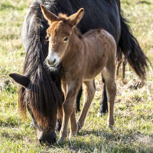 Notre voisine, la mule